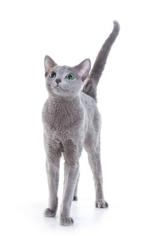 Rosyjski Niebieski Charakter I Wygląd Kotów Tej Rasy