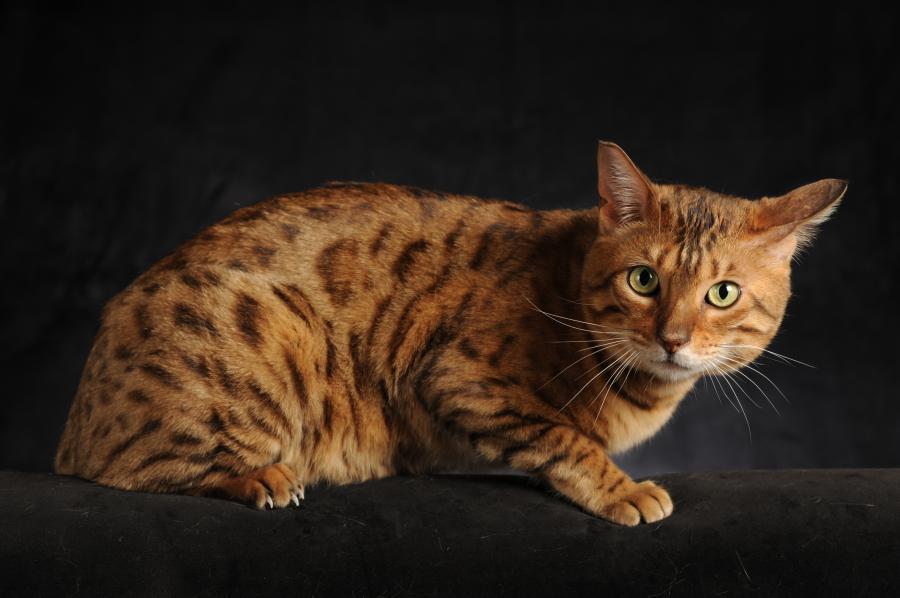 Inne rodzaje Kot bengalski, opis i charakterystyka rasy PZ78
